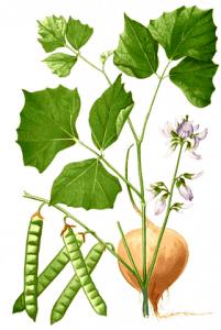 Jicama Botantical
